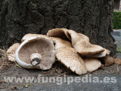 Agrocybe cylindracea