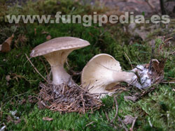 Ampulloclitocybe clavipes